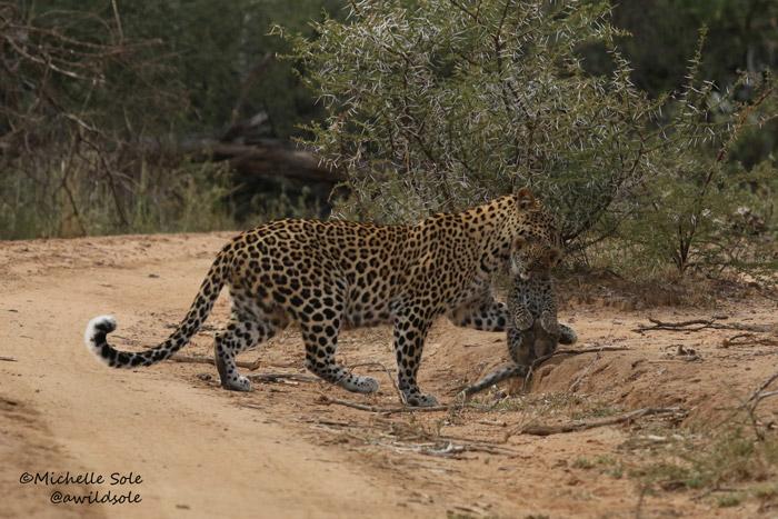 Mum picks up cub