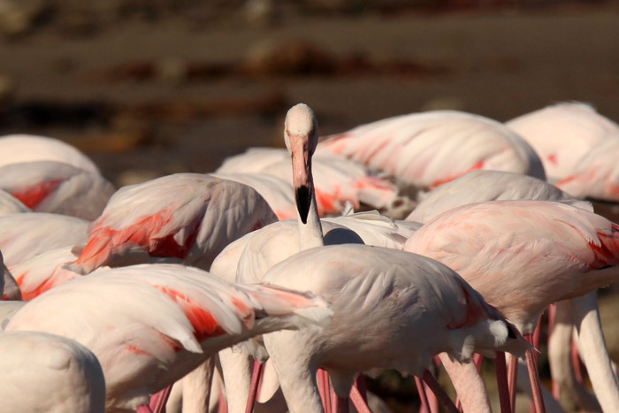 Greater Flamingos Cape Town
