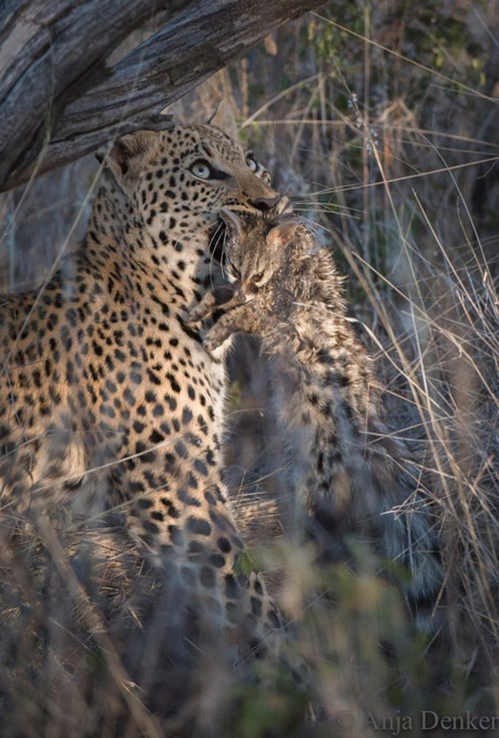 leopard disappears into grass