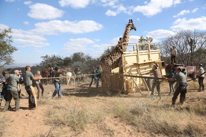 giraffe capture on the game census safari