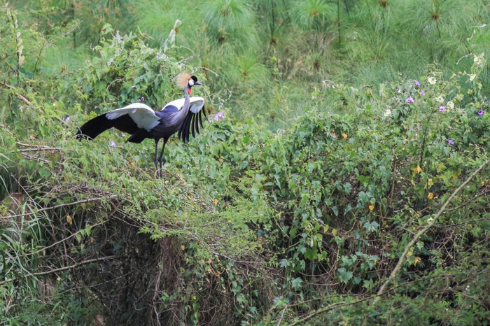 Grey crowned crane flies down to chick
