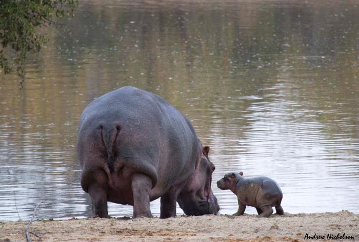 hippo birth