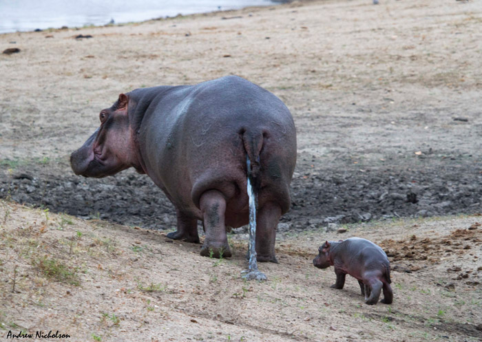 Newborn hippo takes its first swim - Africa Geographic