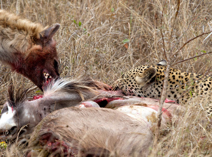hyena-leopard-kill