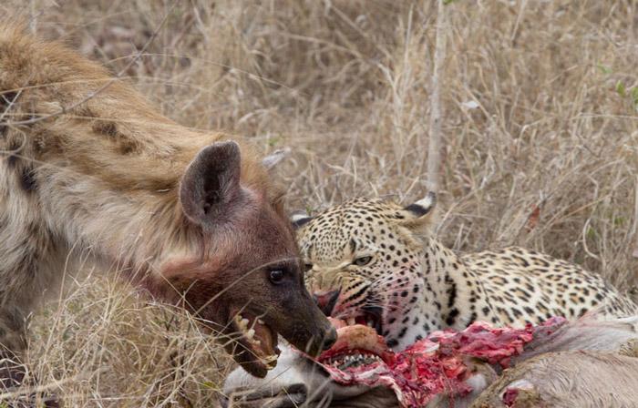 hyena-leopard-kudu-kill