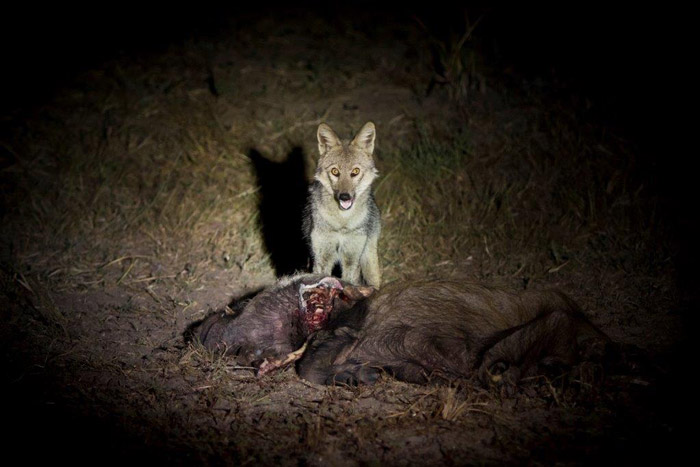 The less common side-striped jackal feasts on bushpig