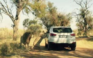 Horrifying: This image captures the horrifying the moment the lioness reared up before attacking American tourist Katherine ChappellRead more: http://www.dailymail.co.uk/news/article-3113418/Horrifying-moment-lioness-reared-attack-killed-American-tourist-Katherine-Chappell-South-African-safari-park.html#ixzz3cTKqKUfc Follow us: @MailOnline on Twitter | DailyMail on Facebook