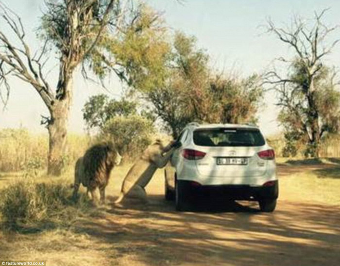 Horrifying Moment When Tourist Was Mauled By Lion Africa