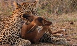 Up close to a leopard kill