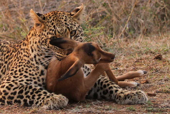 Up close to a leopard kill