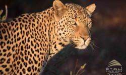 leopard at Etali Safari Lodge