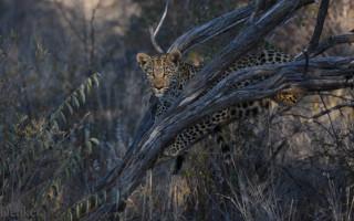 leopard in dead tree