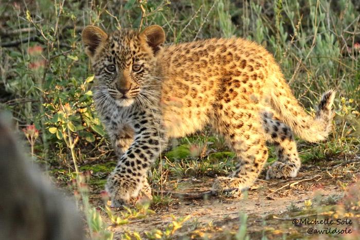 Leopard cub off road