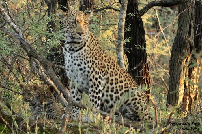 Leopardess in the Waterberg