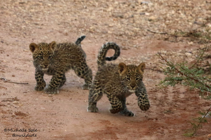 Familiarising Leopard Cubs With Vehicles Africa Geographic