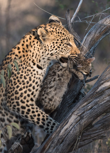 leopard cub with genet