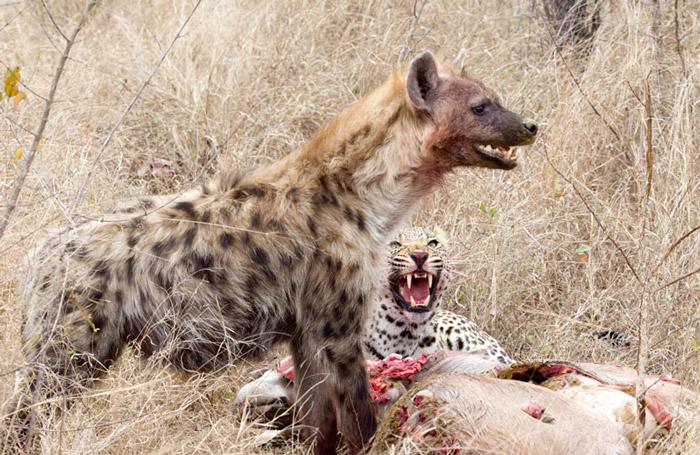 leopard-hyena-kudu