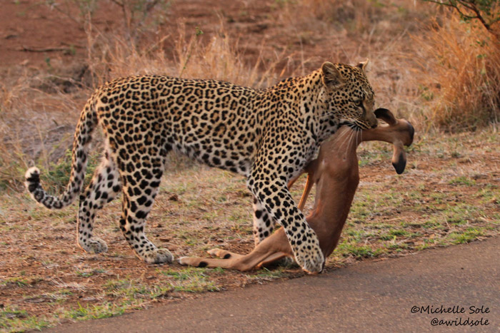 Leopard kills its prey