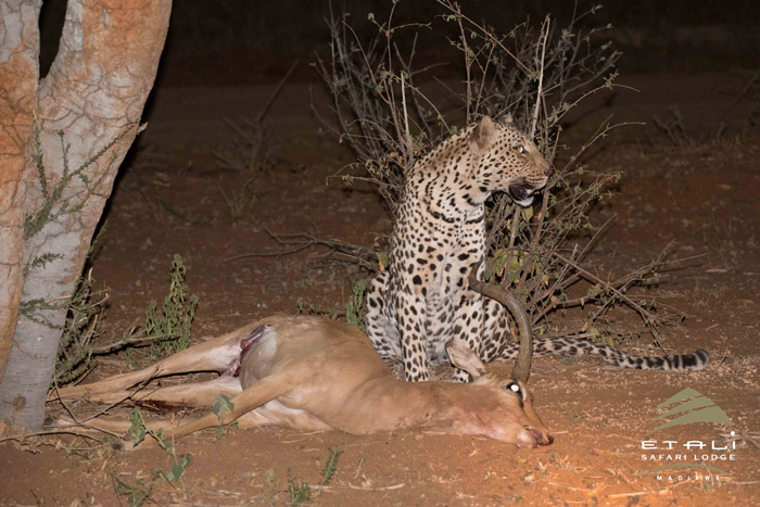 Leopard with its prey