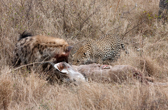 leopard-kill-hyena