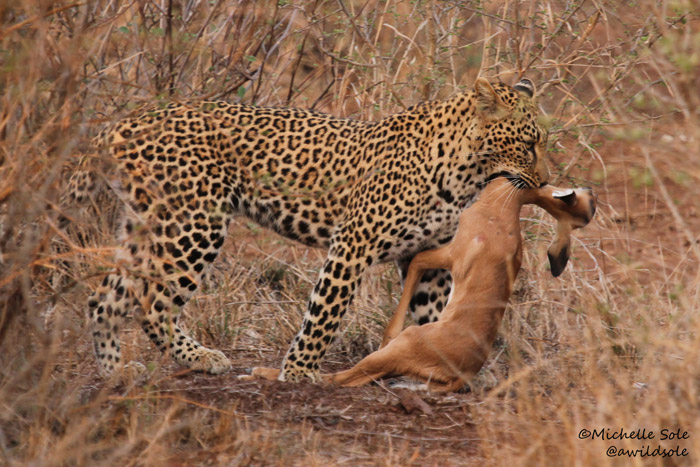 Leopard carries its meal back into grass