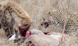 leopard-spotted-hyena
