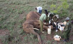 elephant snare rescue