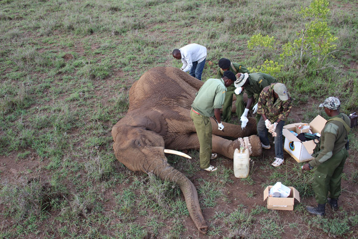 Elephant Snare Rescue Africa Geographic