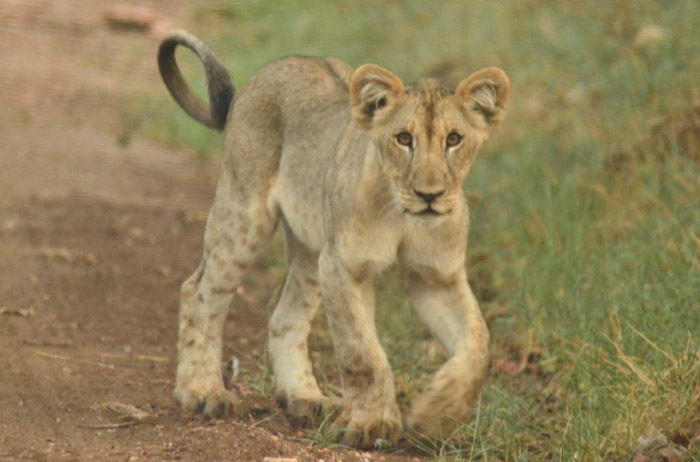 Lion cub spotted