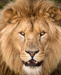 lion escape