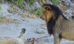 Lion chases off cubs