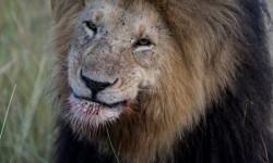 Lion smiling