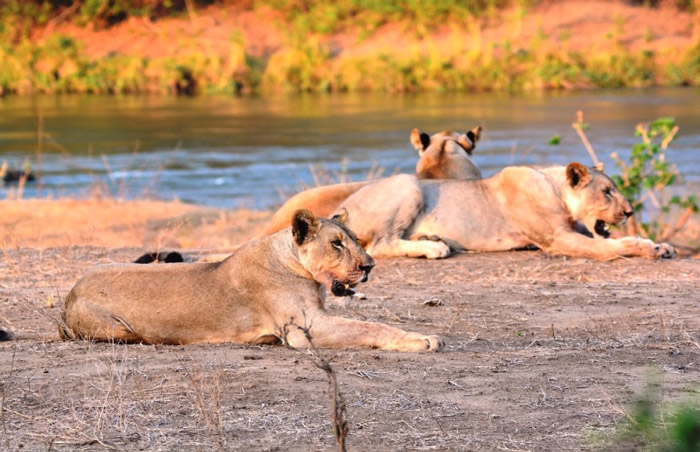 Shire and her cubs by the river