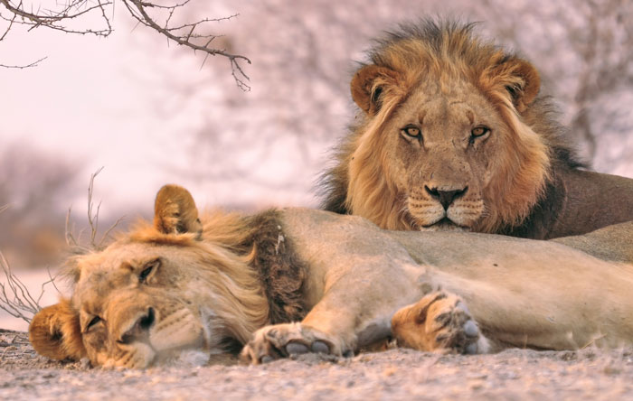 lions savuti