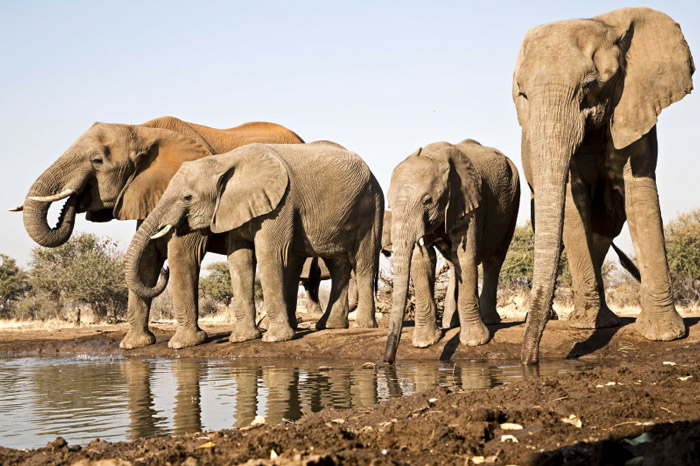 Elephants by the water