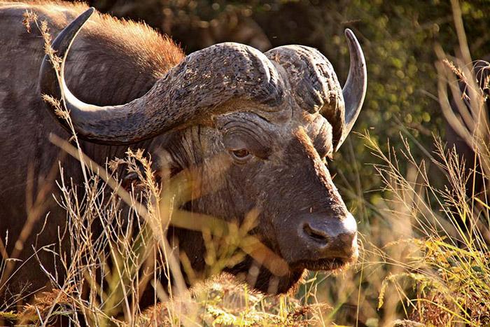 A brush with a buffalo