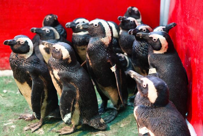 oil spill penguins