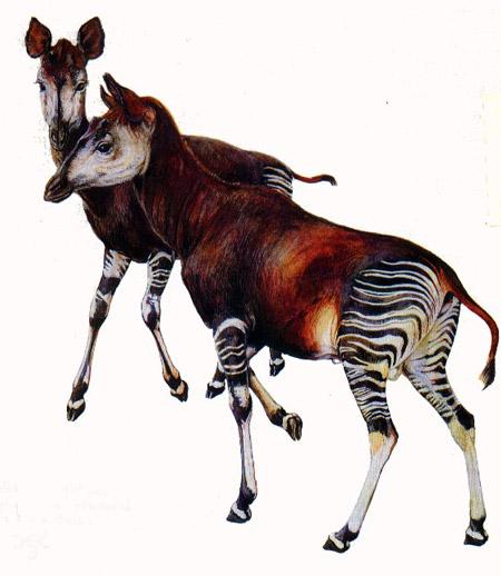 Okapi drawing