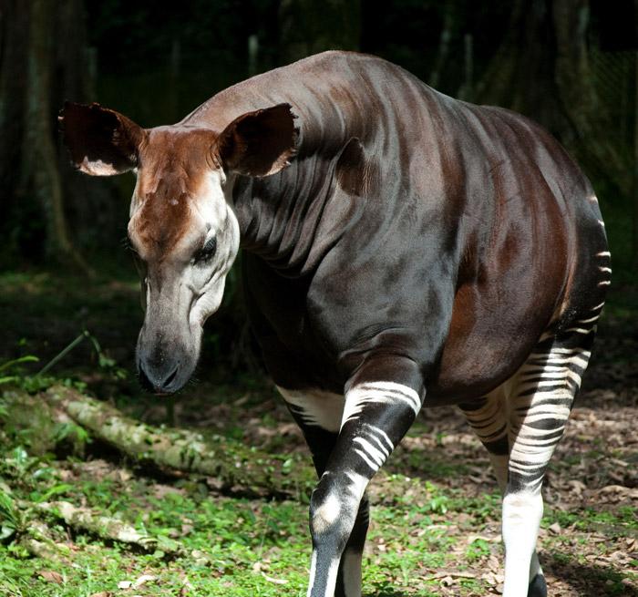 An endangered Okapi