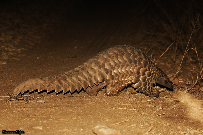 The nocturnal pangolin