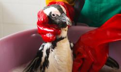 penguin-bath-oil-spill-eastern-cape