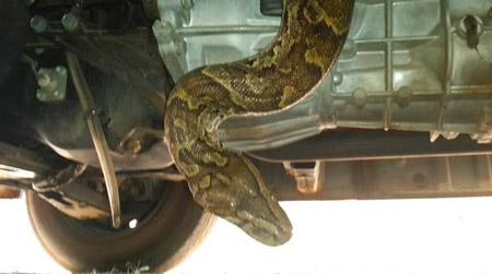 african python