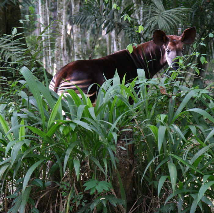 An okapi in its natural forest habitat