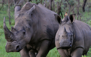 Rhino calf with its mother