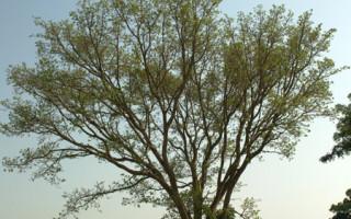 Sycamore fig tree in Kenya