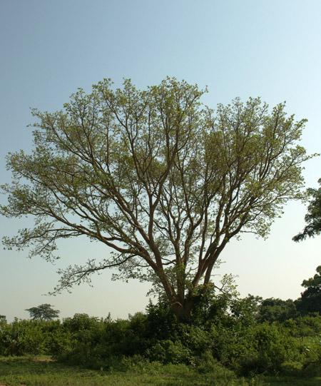 Kikuyu elders ask tree for forgiveness - Africa Geographic