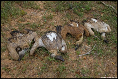 Poisoned vultures in Mpumulanga