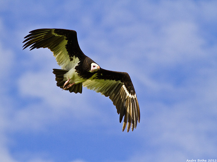 soaring white-headed vulture