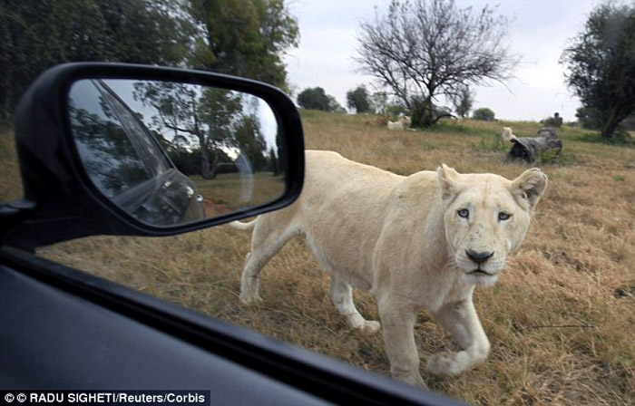 A rare white lion peers at a vehicle at the Lions Park near Johannesburg. The American woman's death was the third big cat attack in four months.