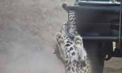 Leopard attack Kruger